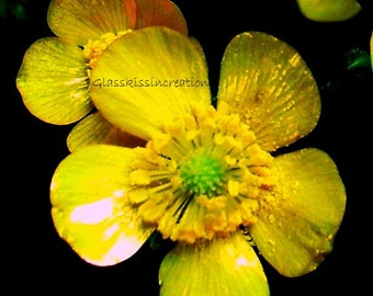 Up Close and Personal with a Ravishing Ranunculus-Fine Art Photography Print 8x10""