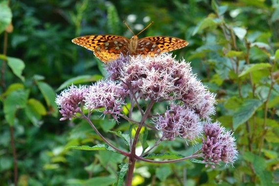 Fritillary Orange Butterfly - Photograph 5x7, matted, orange butterfly on lavender wildflower