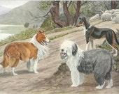 Collie Old English Sheepdog Print 1910s Louis Agassiz Fuertes Dog Art Print Wall Decor Sheep Dog