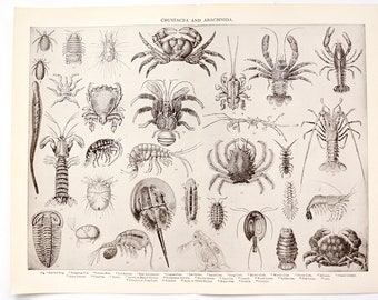 Vintage / Antique Crustacea and Arachnida Book Plate Engraving with Crab, Lobster and more (c.1900s) - Collectible, Home Decor, Art