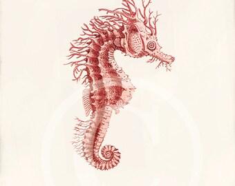 Antique Sea Horse Art Print -  5x 7 - Natural History - Hippocampus Red