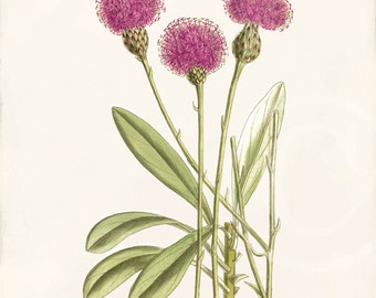 Antique Botanical Art Print - Wall Art - Home Decor - Centaurea 2