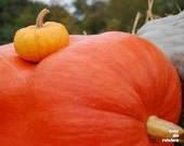 Pumpkin photograph, Harvest, Orange, Fall, Autumn, Home decor, 10x8 - titled: Little and Big