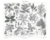 Tanning Plants Vintage Botanical Print, 1923 Quercus Salix Acacia Pinus