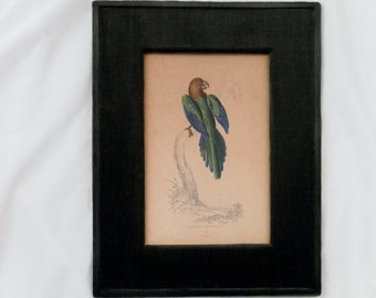 Antique 1833 Joseph Barthlomew Kidd Tabuan Parrakeet Plate No. 22 Engraving w Hand Coloring,  Matted.