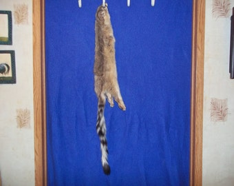 Real animal ring tail cat taxidermy fur hide pelt leather rug part piece