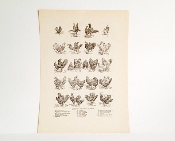 Vintage Art Illustration- Chickens and Roosters - Country Kitchen