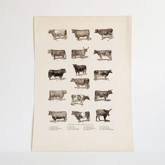 Vintage Country Western Art - Cattle Illustration