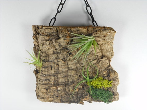 Virgin Cork Air Plant Hanging Garden Unique Natural Gift  Gifts for Him  Gifts under 25