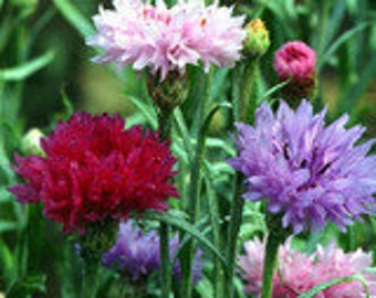 Bachelor Button - Double Mixed Colors - Heirloom - 20 Seeds