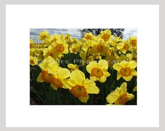 Spring Yellow Orange Daffodils Garden, Cottage Decor, Flower Photography, Original Photograph, Fine Art Photography signed matted 5x7 print
