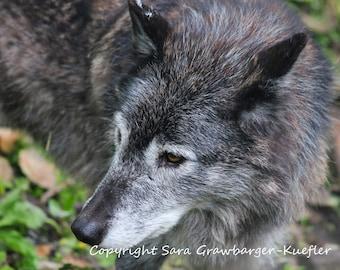 "Grey Wolf - Photograph - 5 x 7"""