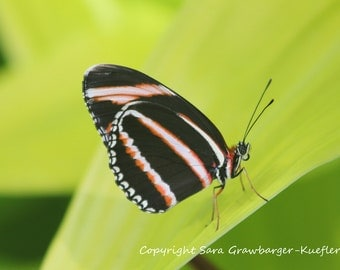 """Butterfly - Black, Orange, and White - Fine Art Photograph - 5 x 7"""""""