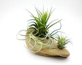 Air Plants on Driftwood:  Tillandsia Table Garden