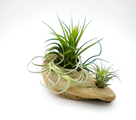 Air Plants on Driftwood:  Tillandsia Table Garden