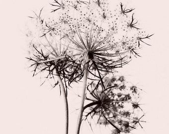 flower, queen anne's lace, nature, fine art photography