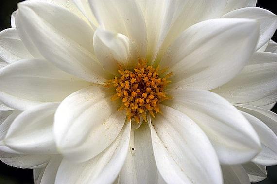 Heirloom 300 Seeds Mini Dahlia Pinnata Tiptoes Pure White