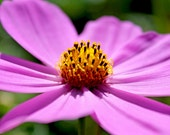 Flower Color photography Cosmos flower nature spring summer yellow - Pretty in Purple 8x10 photograph