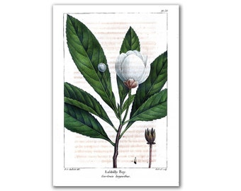 Loblolly Bay Blossom, vintage illustration printed on parchment paper, nursery room, nursery art, educational board. Buy 3 and get 1 FREE