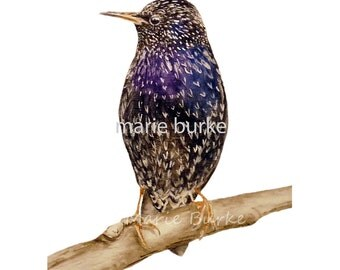 Starling - fine art print, bird painting, bird print, bird watercolour