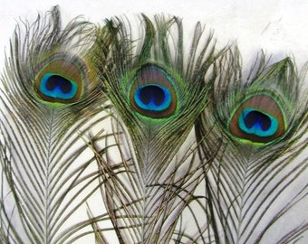 Large Peacock Feathers (50)