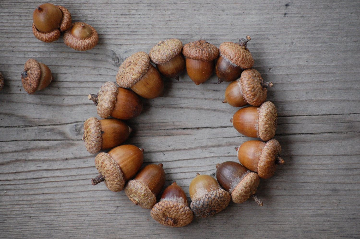 acorn acorns fall decorations real acorns natural acorns