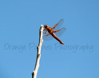 Red Dragonfly Photograph *choose your size*