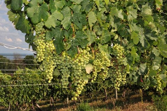 Kitchen art Green Grapes in a vineyard