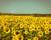 Sunflower Field Photography, Summer Photography, Nature Photograph on Canvas or Photo Paper 8x10 or 8x12 harvest