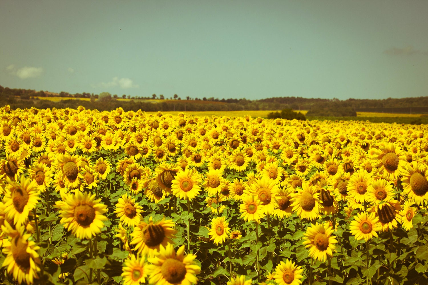 Sunflower Field Photography Summer Photography Nature