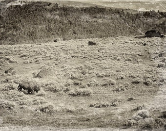 "The lone Bison in Yellowstone National Park 16""X24"" photograph."