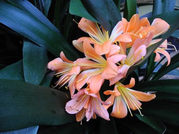 Clivia/Kafir Lily- live plant