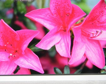 photo card, flowers, Rhododendron, pink