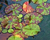 Lily Pads - Hawaii - 8 X 10 Print - Fine Art Photography - Wall Art - Home Decor