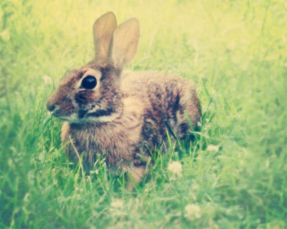 Rabbit Photograph, nature photograph, nursery decor, bunnies, cute, soft, shabby chic, rustic, rural, farm, childrens room, nursery print