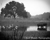 8x12 Misty Morning Buffalo Black and White Fine Art Print Country Scenic Florida Horses Farm