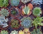"""5 LARGE 4"""" Succulent Plants, Quality Succulent Plant, Succulent Centerpiece, Succulent Wedding, Dish Garden,Wreath"""