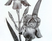 Original pen and ink iris drawing on white paper