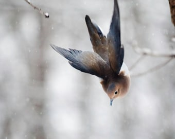Bird Photography: The Art of Staying Aloft No.3 Mourning Dove (Zenaida macroura)