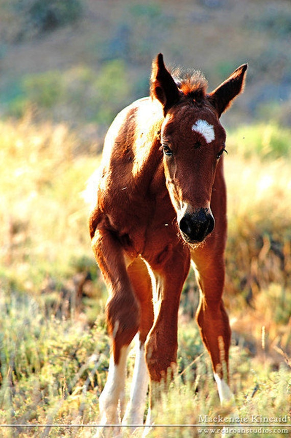 Baby Mustang Horses The wild foal 8x10 mustang horse photo by ...