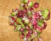 Wholesale 100 Egyptian Walking Onions Bulbs