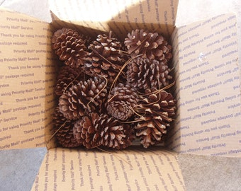 SALE:  Large Florida Natural PINE CONES, 15 Long Needle Cones,Christmas Decor, Nature's Bounty, Country weddings