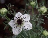 Black Cumin Cooking Herb, Perennial, Seeds, Nutmeg Flower