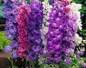 Delphinium Pacific Giants Mix, Variety of Colors, 25 Seeds, Flower Mix, Blue, Purple, Pink, Red and White