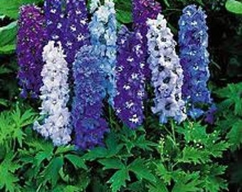 Delphinium Magic Fountains, Dwarf Mix Flowers, Perennial Seeds, Attracts Hummingbirds, 25 Seeds