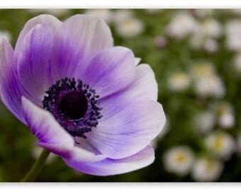 Lavender Purple Poppy Flower Seeds, Attract Butterflies, Self Seeds Every Year, 25 Seeds
