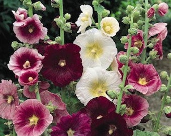 Hollyhock Indian Spring Mix, Perennial Flower Seeds