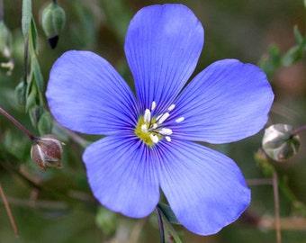 Beautiful Blue Flax, Perennial Flower, Attracts Butterflies, 20 Seeds