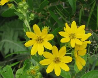 Engelmann's Daisy, Perennial Flower, Garden Border Plant, 20 Seeds