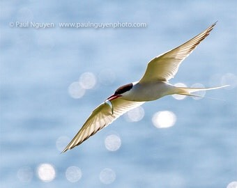 Arctic Tern bird flying with fish photograph,  8x10 print matted on white 11x14 mat.  Arctic tern bird fishing catching fish wings backlit